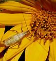 Gryllidae, Common Tree Cricket - Oecanthus forbesi - male