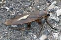 Giant Water Bug - Benacus griseus