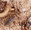 Cotton Springtail? - Entomobrya unostrigata