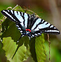 Swallowtail - Eurytides marcellus