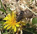 Large fly on dandelion - Ptilodexia