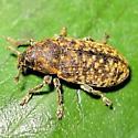 what weevil? - Rhinocyllus conicus
