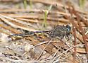Gomphus westfalli - Westfall's Clubtail - Phanogomphus westfalli - male