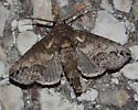 moth - Paectes abrostoloides