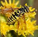 Spilomyia interrupta - male