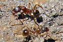 red ants - Aphaenogaster rudis