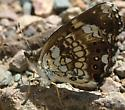Silvery Checkerspot? - Chlosyne nycteis