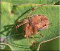 Spider sp - Neoscona arabesca