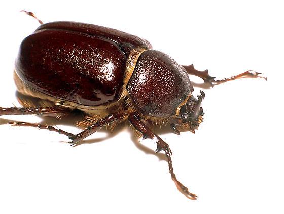 Sleeper's Elephant Beetle - Megasoma sleeperi - male