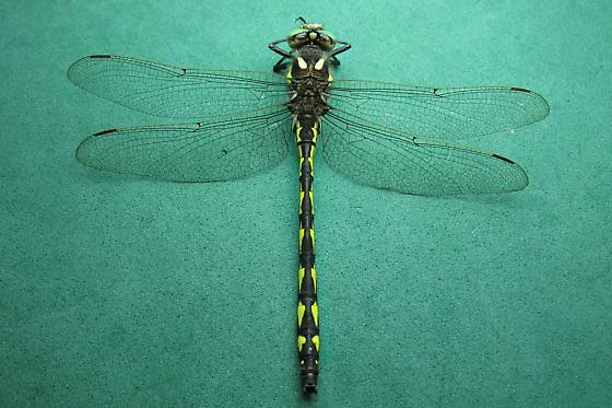 Spiketail - Delta-spotted Spiketail - Cordulegaster diastatops