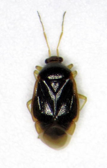 Mirid 2 - Monalocoris americanus