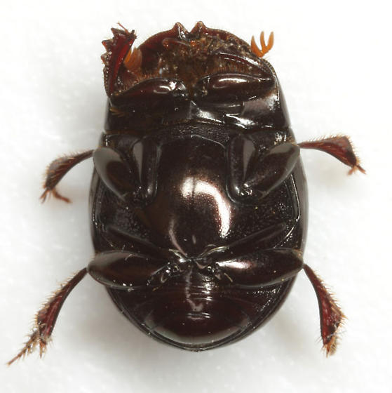 Ateuchus lecontei (Harold) - Ateuchus lecontei