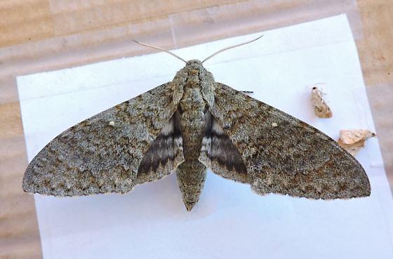 Arizona Moth - Manduca muscosa