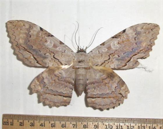 Thysania zenobia