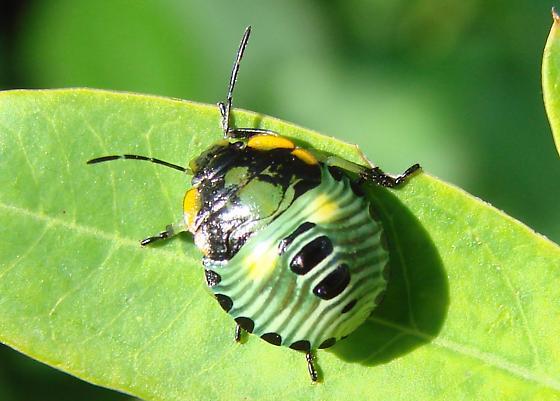 Green Stink Bug (Acrosternum hilare) nymph - Chinavia hilaris