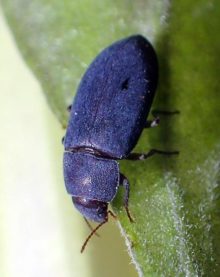 Darkling beetle?