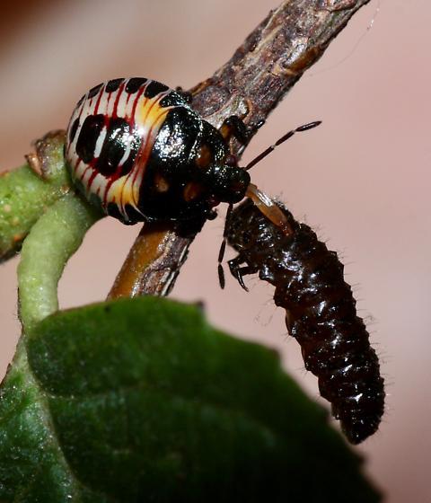 P. maculiventris - Podisus maculiventris