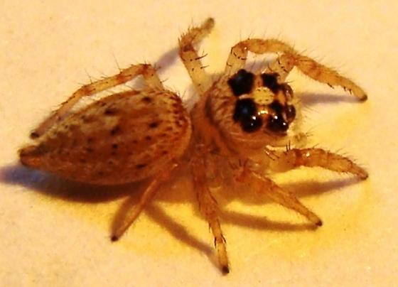 Jumping Spider - Colonus hesperus - female