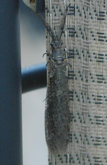 Fishfly  - Chauliodes rastricornis