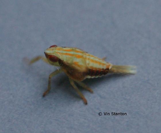 unknown bug - Thionia bullata