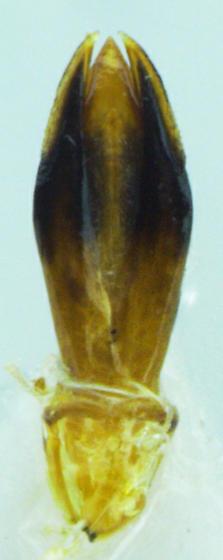 Chrysobothris lateralis - male
