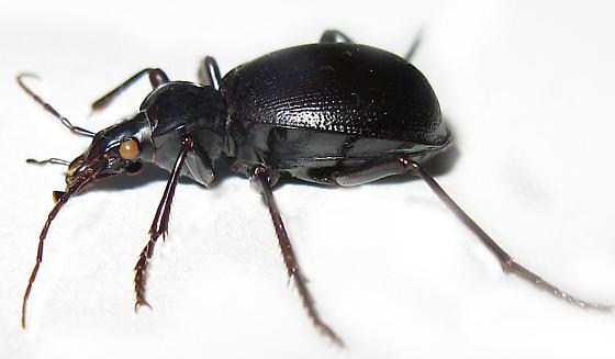 Ground Beetle - Scaphinotus striatopunctatus