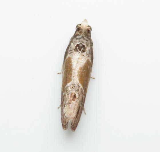 Olethreutinae, Sculptured Moth, dorsal - Eumarozia malachitana