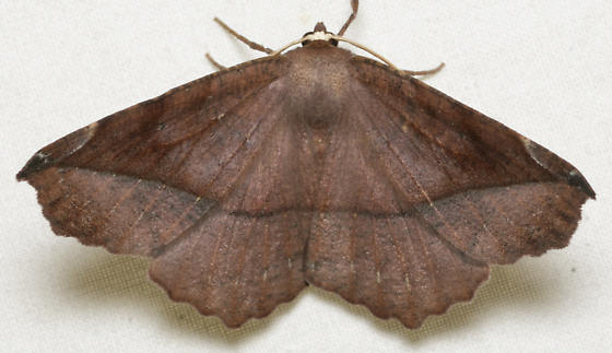 brown moth without yellow line - Eutrapela clemataria