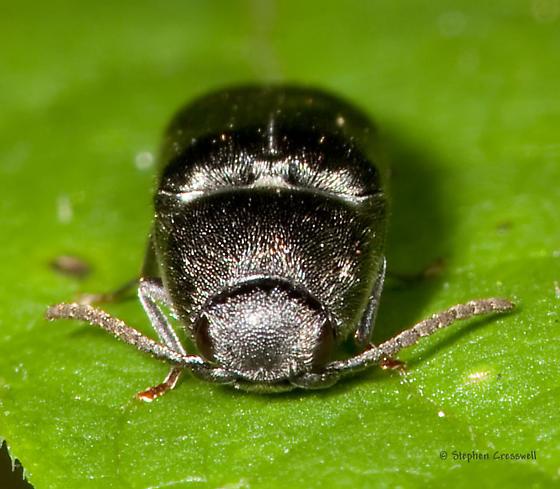 Hairy Click - Dromaeolus turnbowi