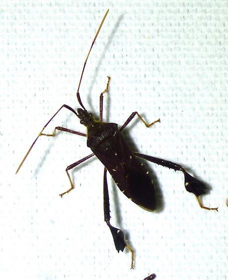 Leptoglossus fulvicornis - Leptoglossus oppositus