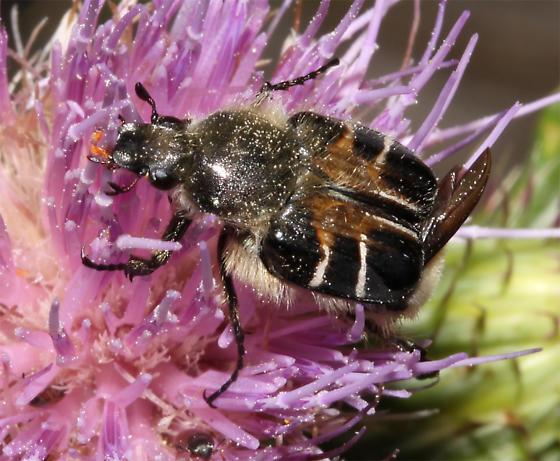 - - Trichiotinus assimilis