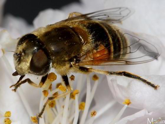 Syrphidae - Eristalis arbustorum - female