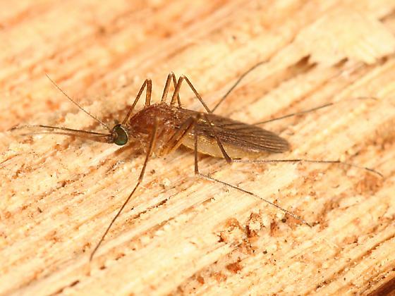 green eyed Mosquito - Culex pipiens - female