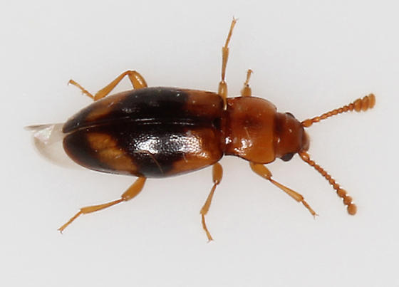 tiny orange & black beetle - Phymaphora californica - female