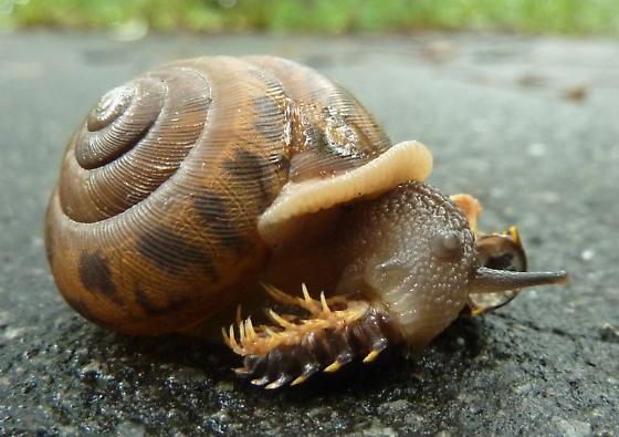 Snail Eating Millipede