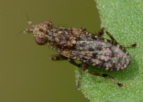 Small something? (Fly Bug ??) - Dictya