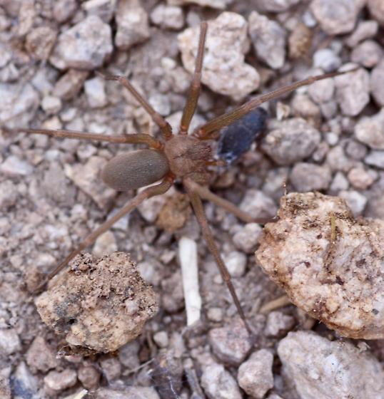 Cow patty spider - Loxosceles apachea - male
