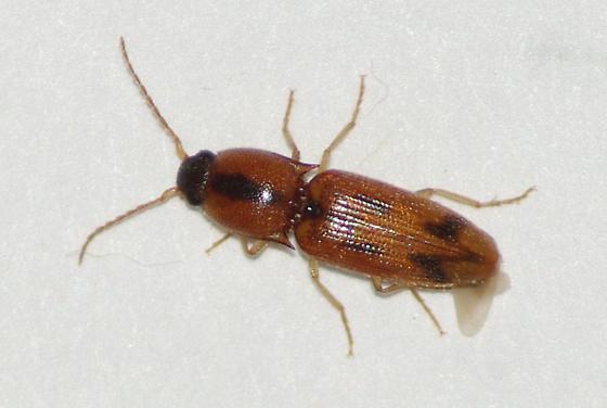 Click Beetle sp.  - Aeolus
