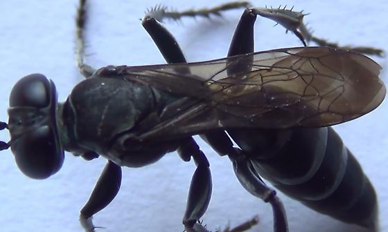 Square-headed Wasp Body Scan (wings #1) - Liris - female