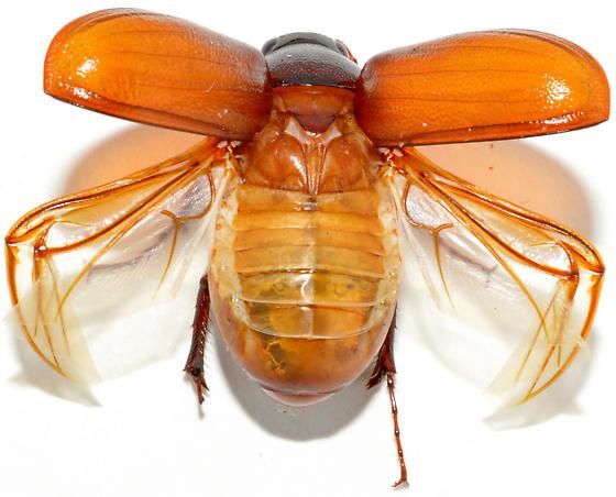 Phyllophaga hirtiventris - female