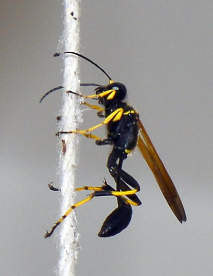Please help us to identify this guy. - Sceliphron caementarium