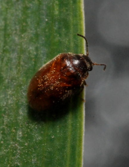 Small brown beetle - Contacyphon