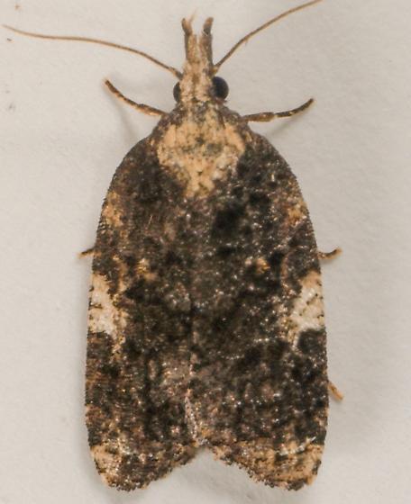 Moth to porch light  - Platynota exasperatana