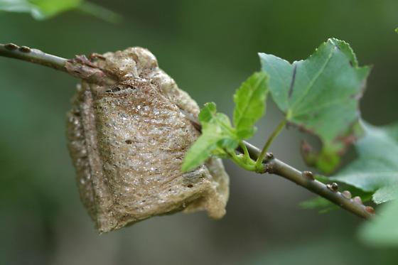 Mantid egg case - Tenodera sinensis