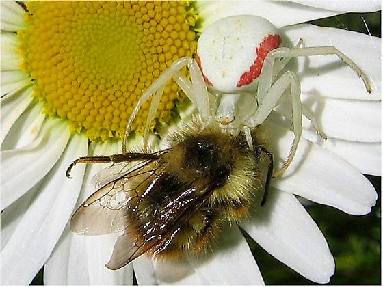Spider Pic - Misumena vatia - female