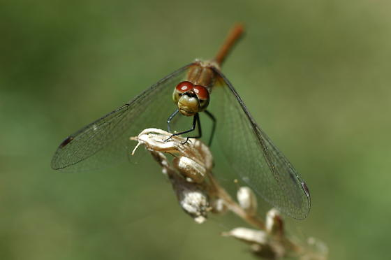 Dragonfly - White-Faced Meadowhawk - Sympetrum