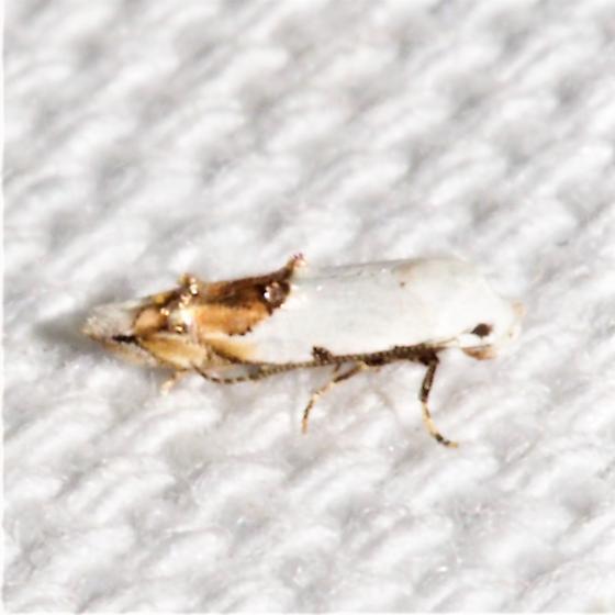 1429 – Mompha bottimeri – Bottimer's Mompha Moth - Mompha bottimeri