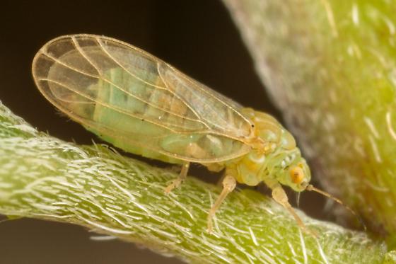 Amorphicola amorphae? - Amorphicola amorphae - female