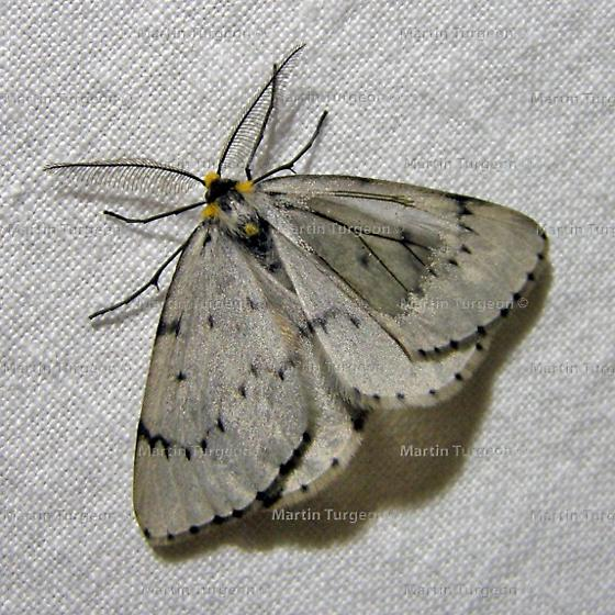 6898 Cinglia catenaria - Cingilia catenaria - male