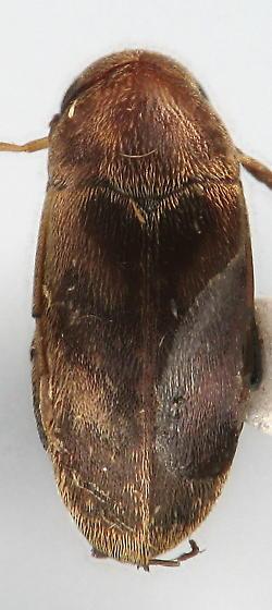 Mordellistena masoni